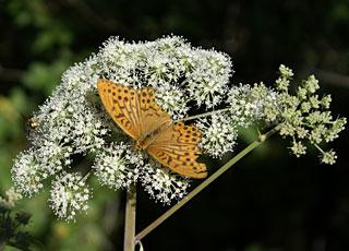 Schmetterling im Hinterzartener Moor