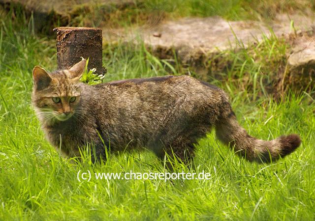 Wildkatze im Wildparadies Tripsdrill