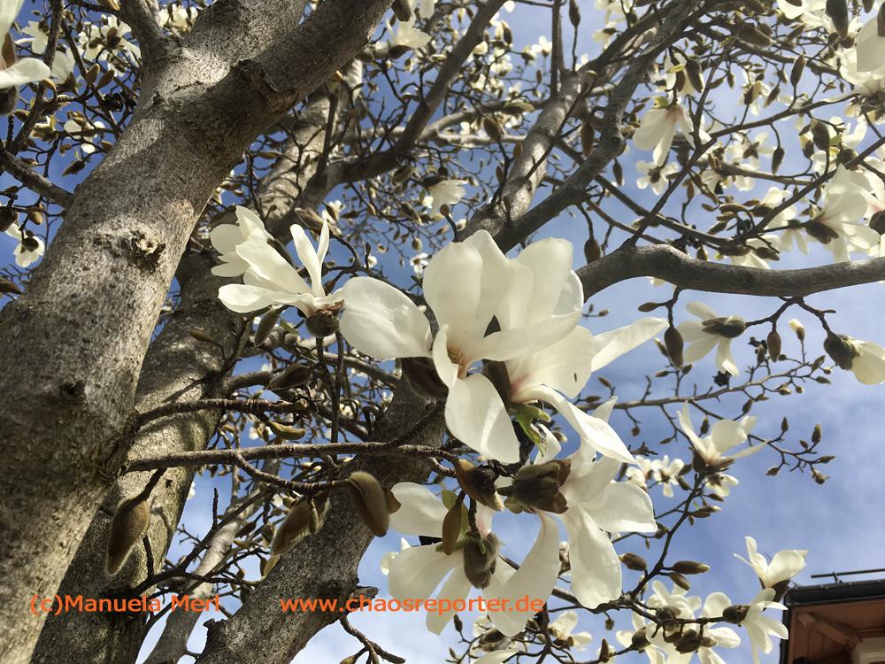 Magnolien in Pasing