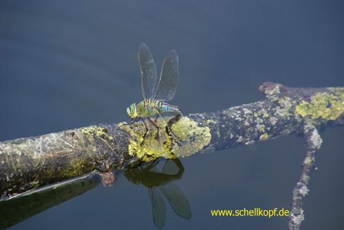 Libelle bei Eiablage Foto: Manuela Merl